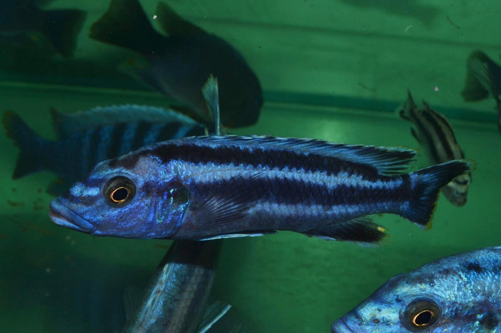 Wild Melanachromis Kaskazini