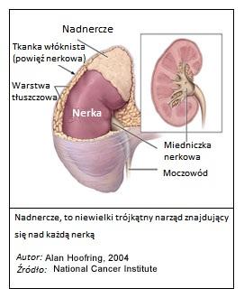 Nadnercze, budowa. Żródło: National Cancer Institute. MedTech Polska