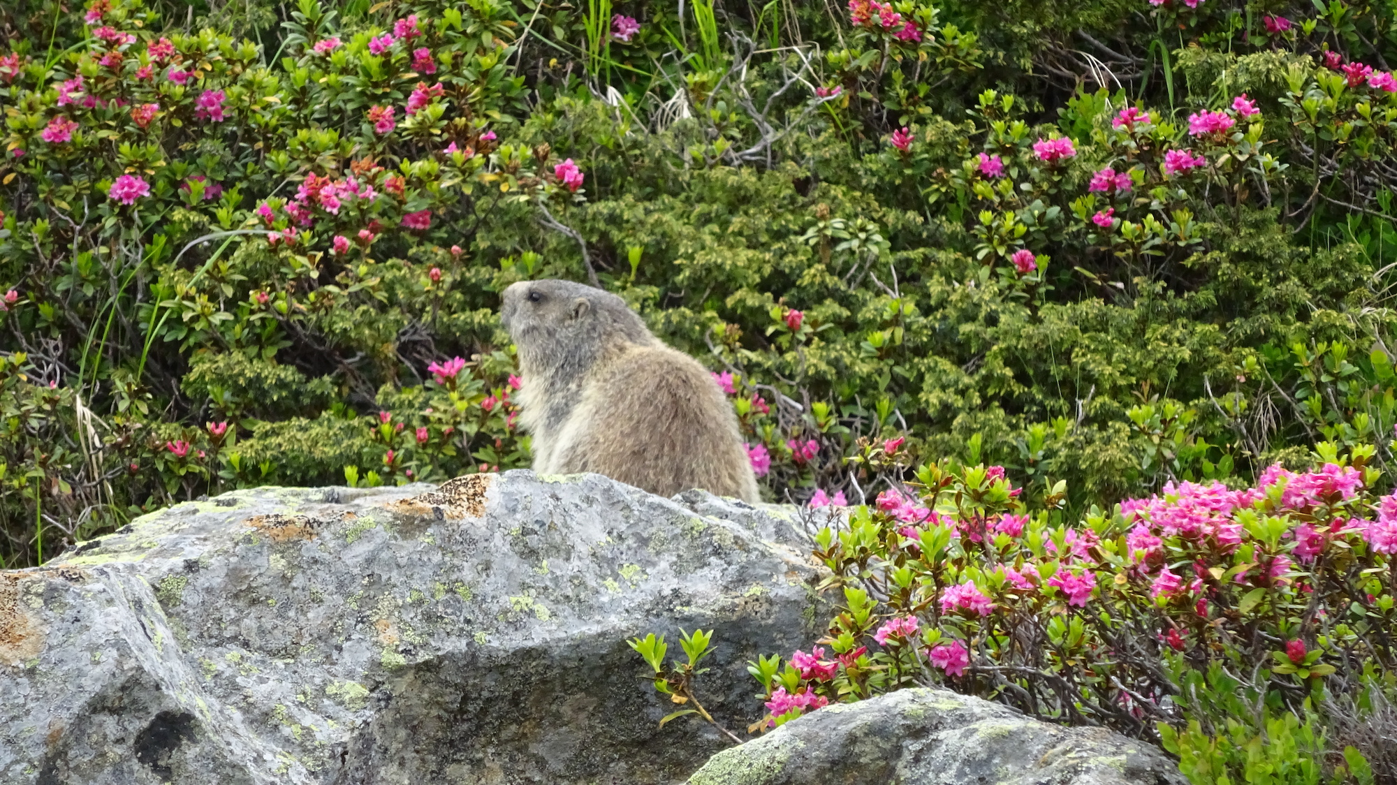 Alpine Marmot Austria