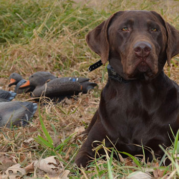 Hunting dog and duck decoys