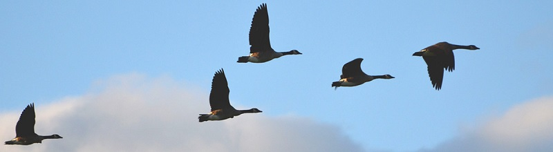 Geese over Blackduck MN