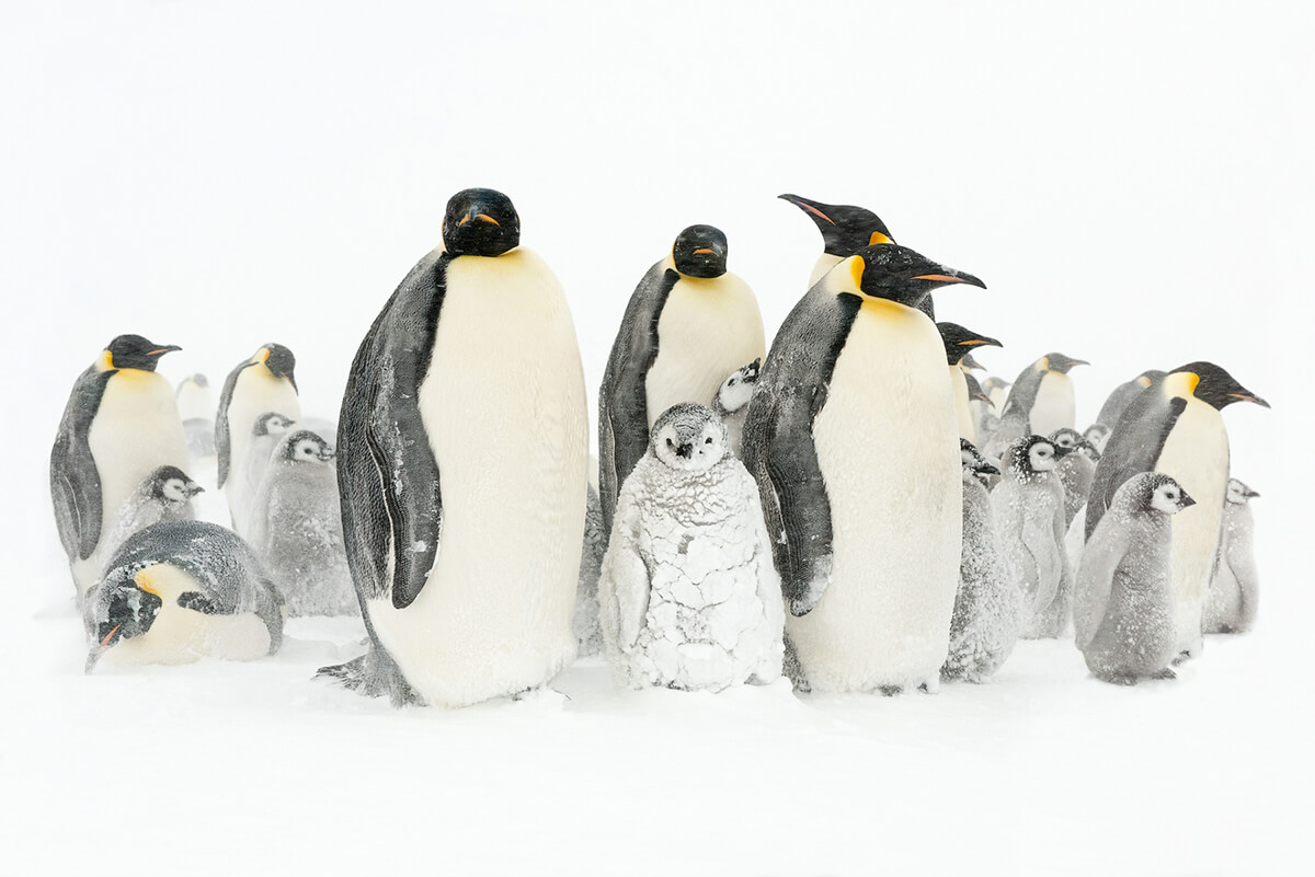Roger Fishman Penguins Photo