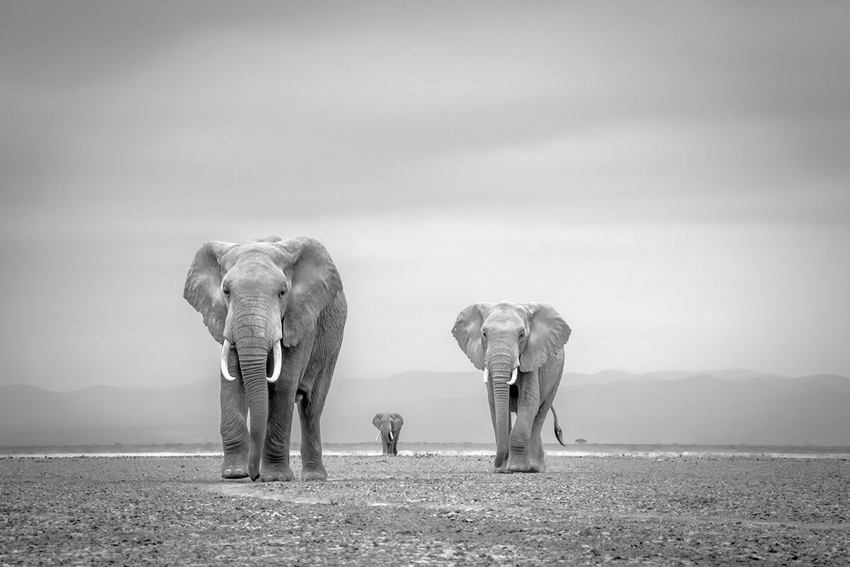 Roger Fishman elephants photo