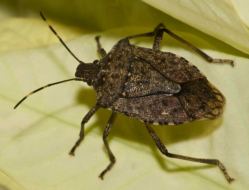 Fumigation for Stink Bug to New Zealand and Australia