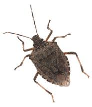 Brown Marmorated Stink Bug Season