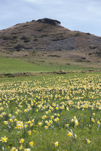 les jonquilles fleurissent un peu partout sur le plateau du Mezenc