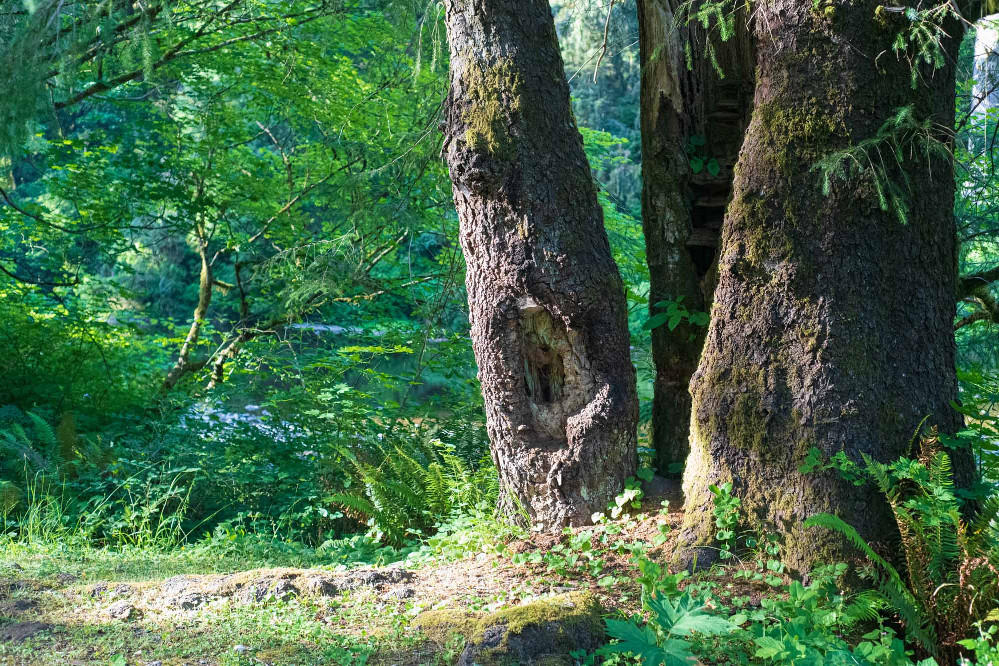 three trees stand in a lush forest, tightly bunched together