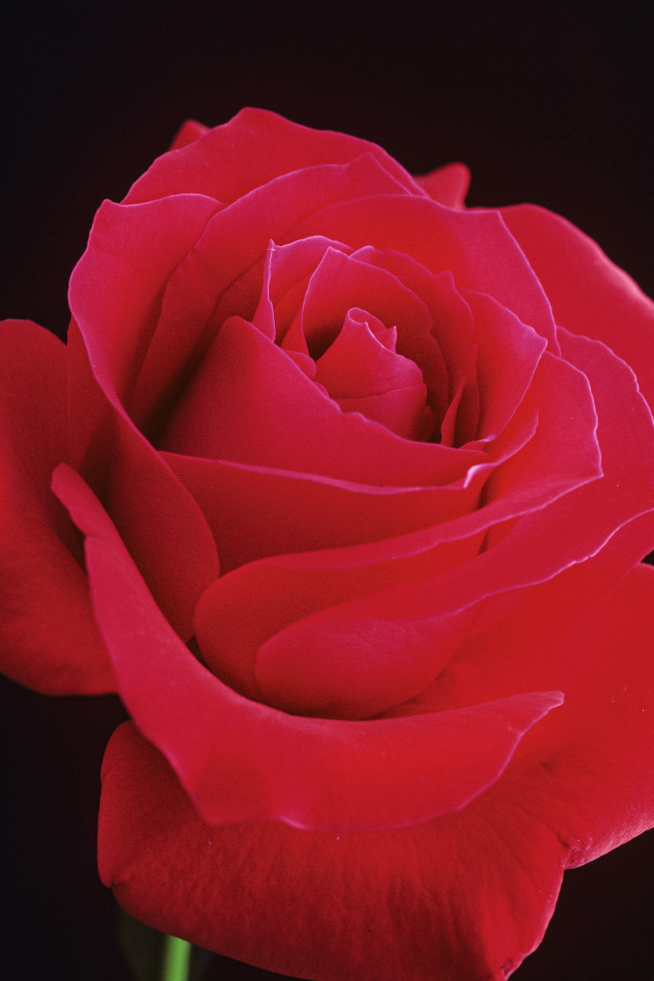 a red rose against a black backdrop