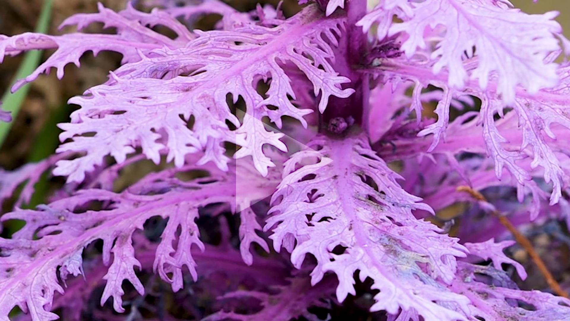 a pink fern