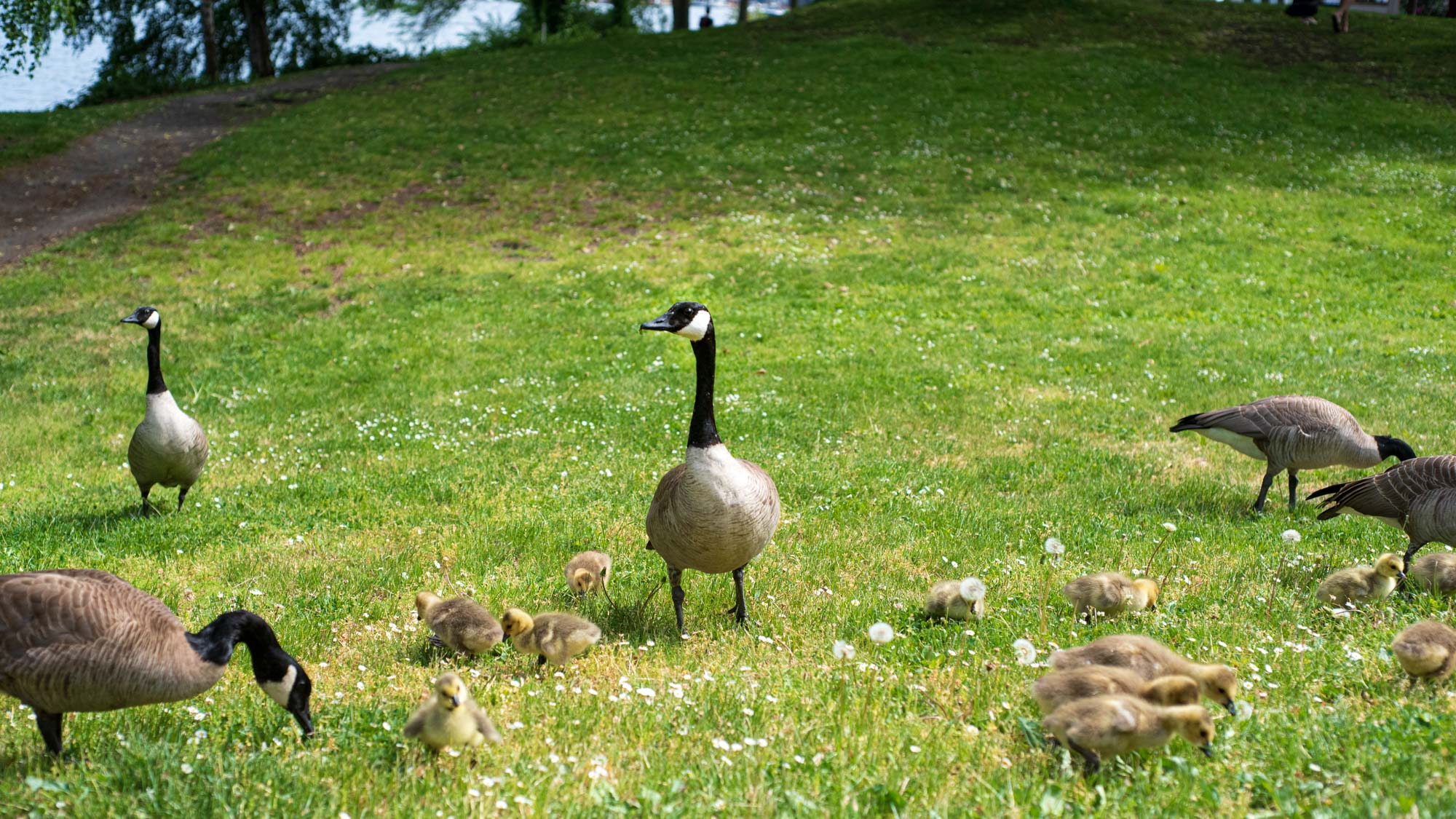 geese protect their recent hatchlings