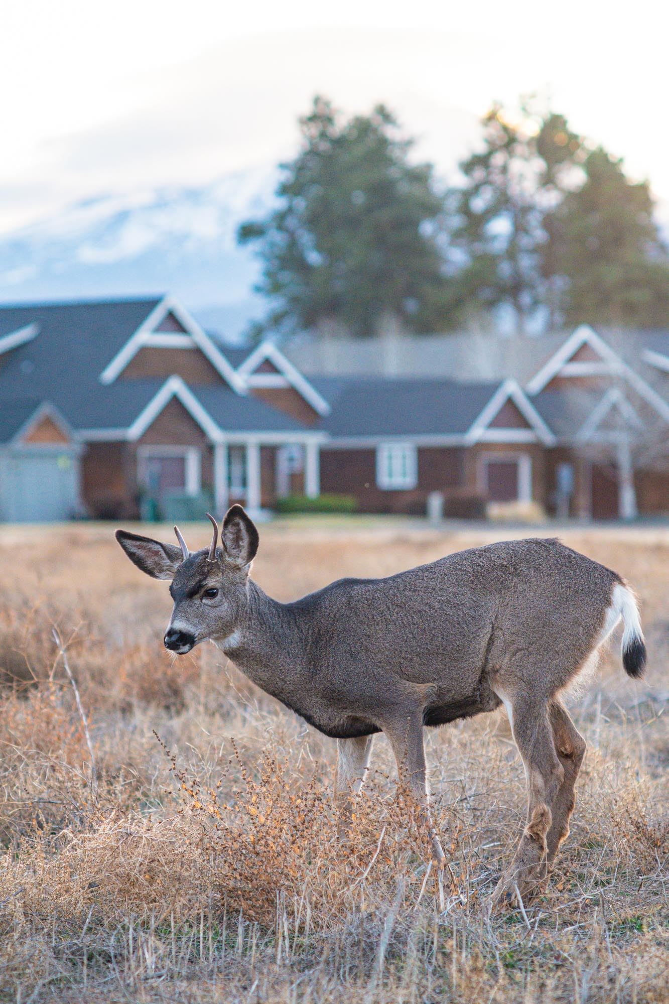 a deer stops for a rest on a brisk morning in Sisters, Oregon