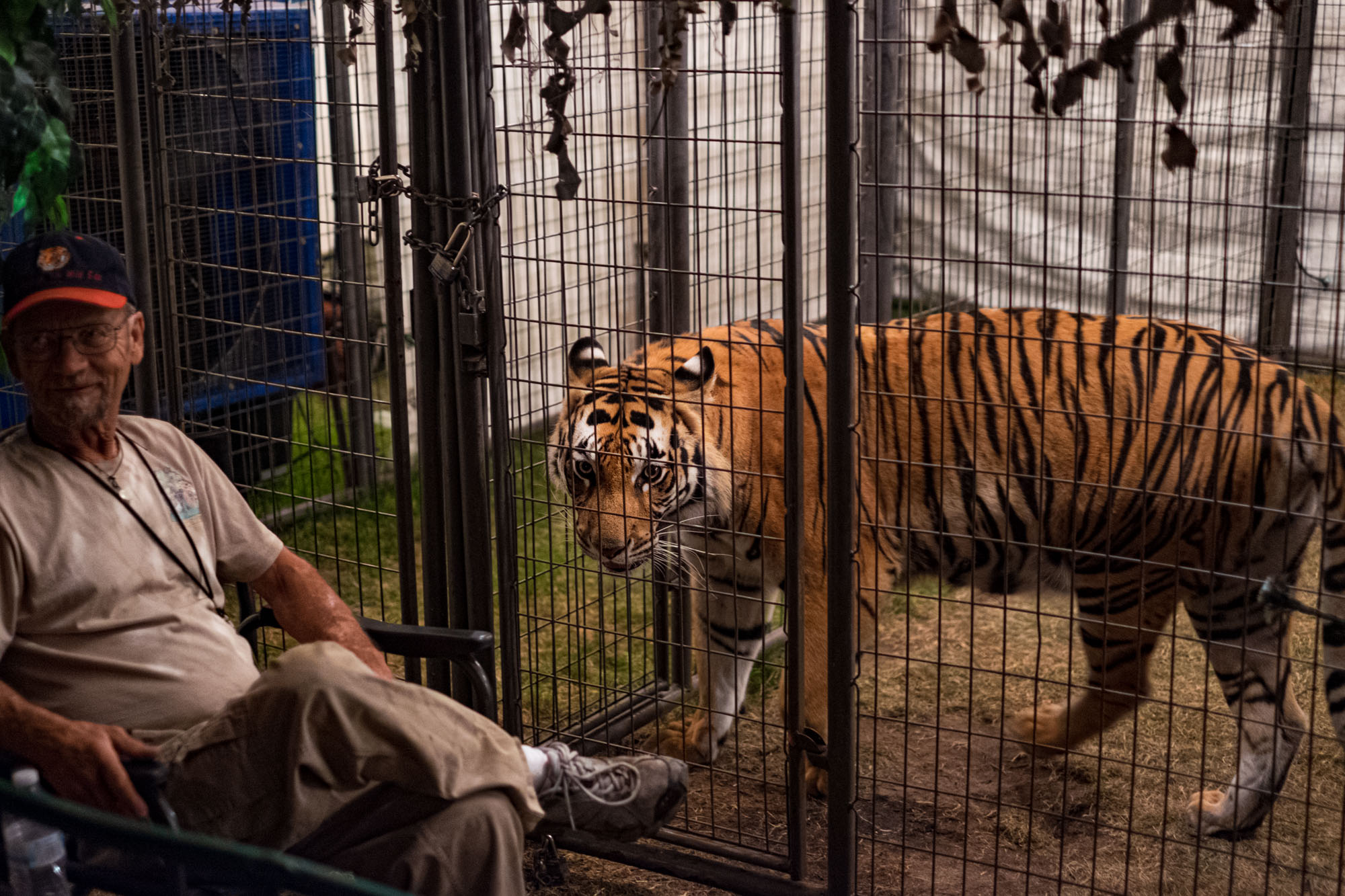 a tiger paces inside its cage at a fair in Portland, Oregon