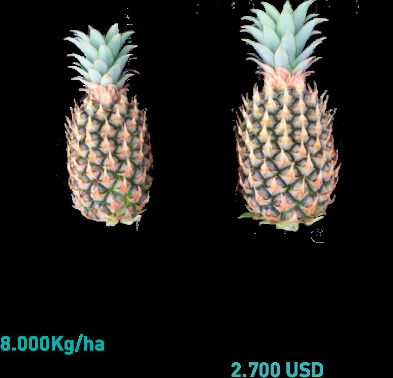incremento producción piña manvert foliplus