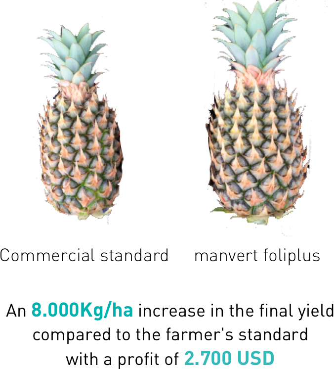 increase pineapple production manvert foliplus