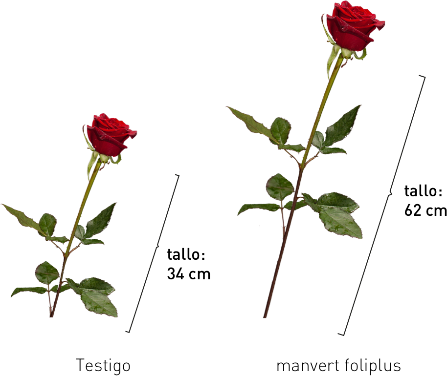 incremento longitud tallo rosa manvert foliplus