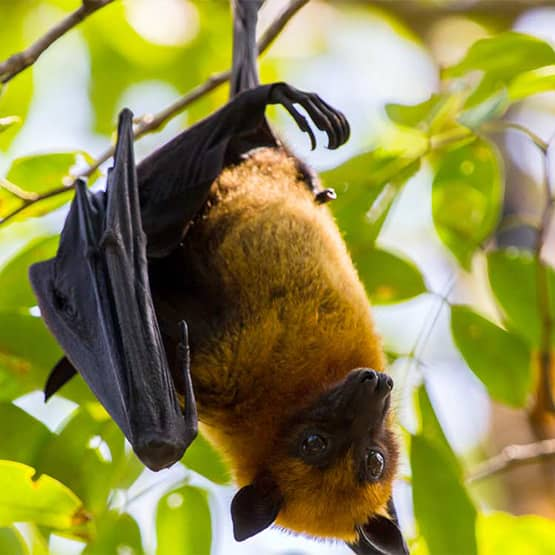 A bat hanging upside down from a tree.
