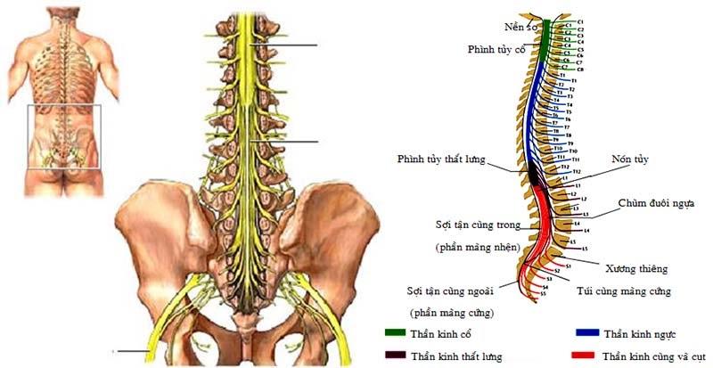 Hội chứng đuôi ngựa là gì? Nguyên nhân, chẩn đoán và biện pháp điều trị