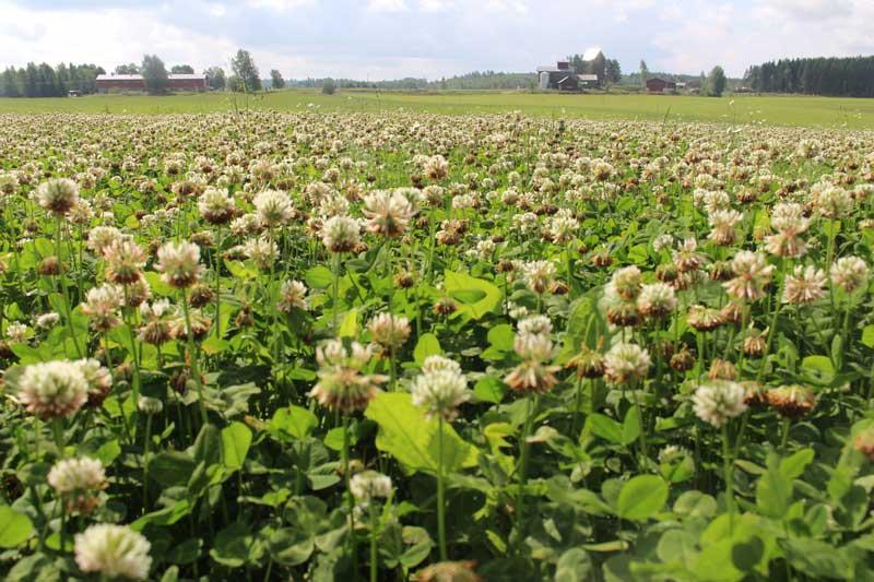 Organic farming clover field