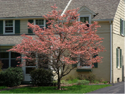 Tree in front of house