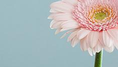 Vaaleanpunainen gerbera-kukka osittain kuvassa vaaleansinistä taustaa vasten.