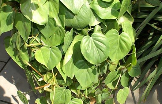 best indoor hanging plants low light