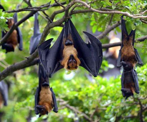 fruit bats chirping
