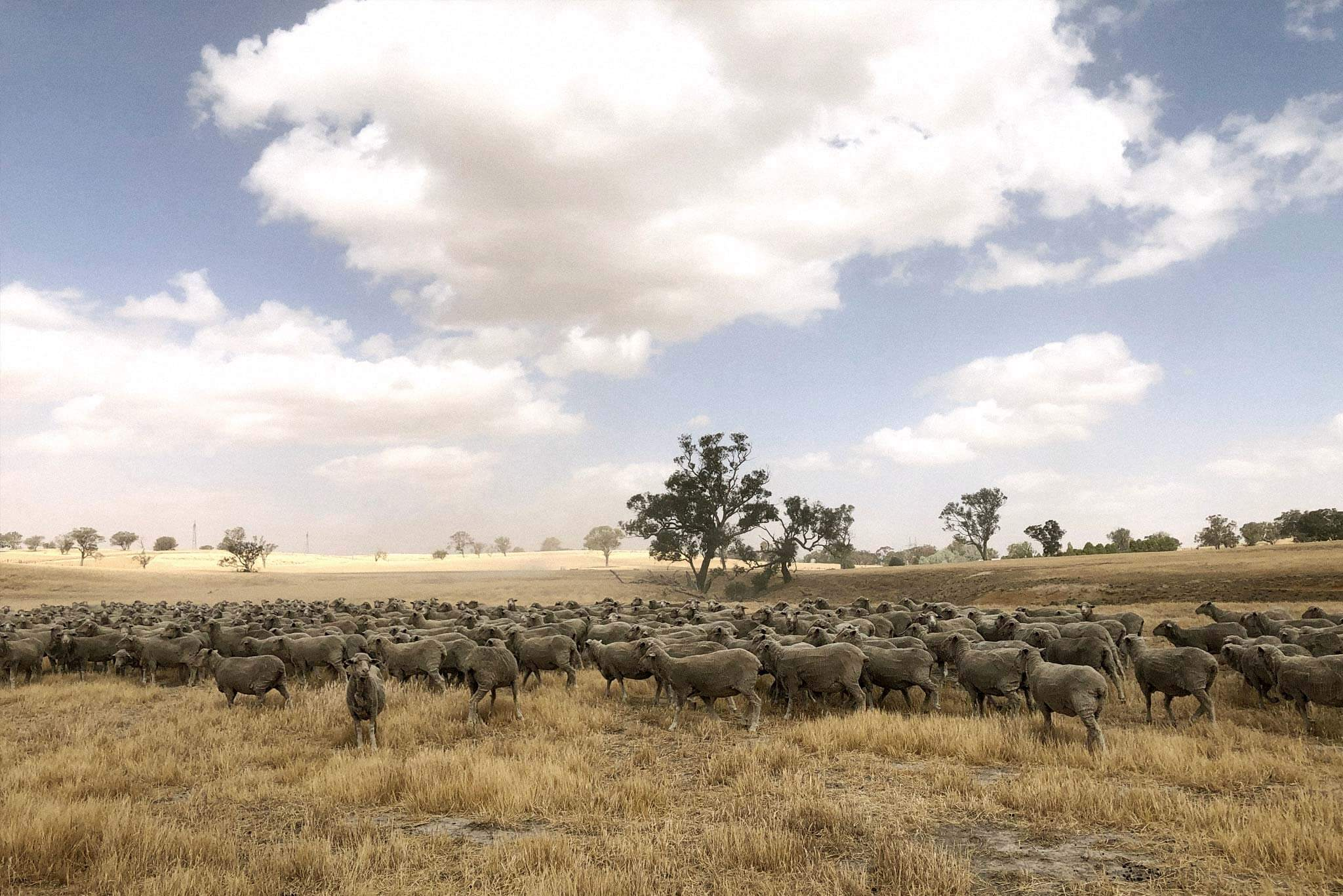 A field of recently sheared Merino sheep roaming a farm in rural New South Wales. Shot by Lisa Bergstrand.