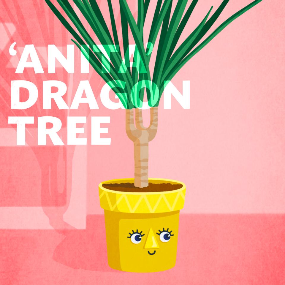 'Anita Dragon Tree' office plant