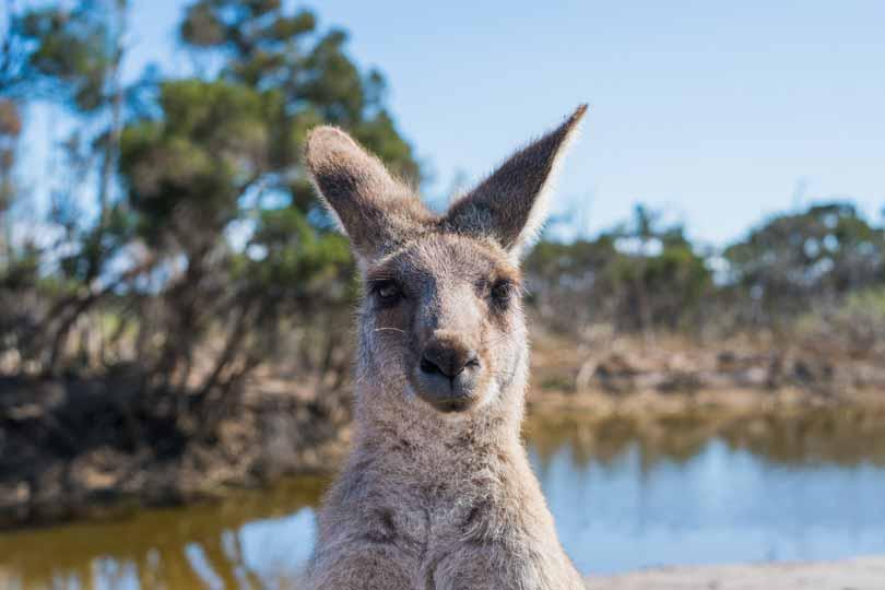 Australian Wildlife - Kangaroo