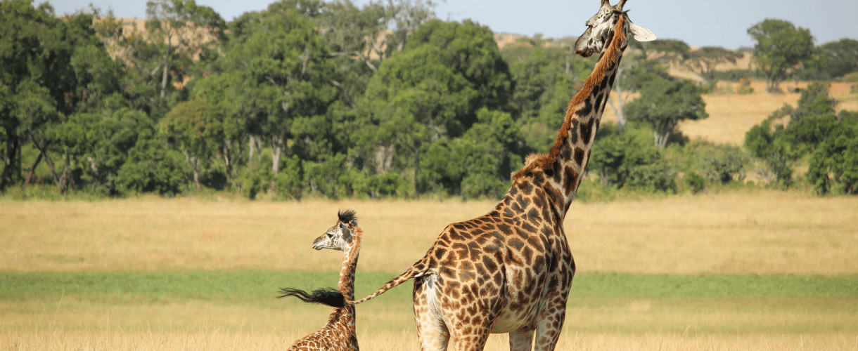 An adult giraffe and her baby on a green field