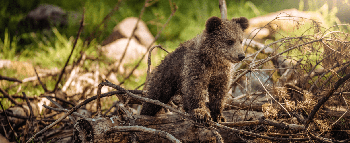 A cub standing on tree branches