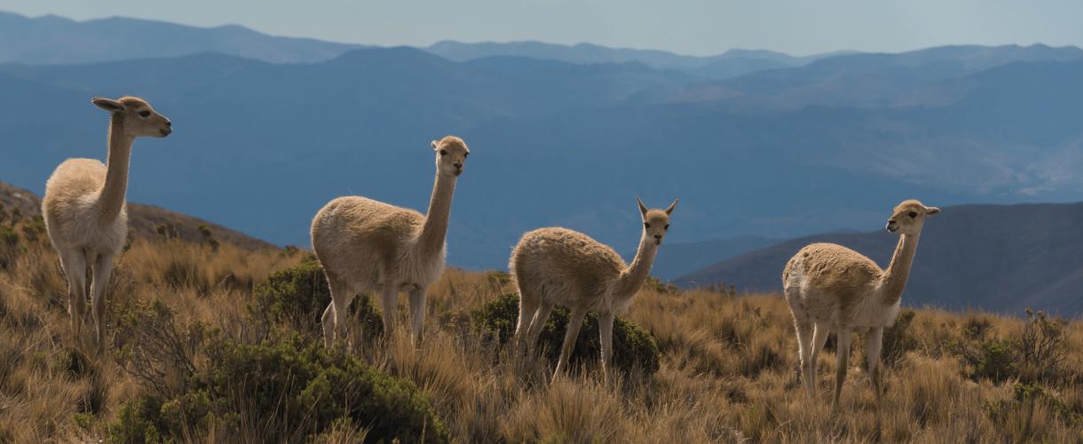Four lamas on a field