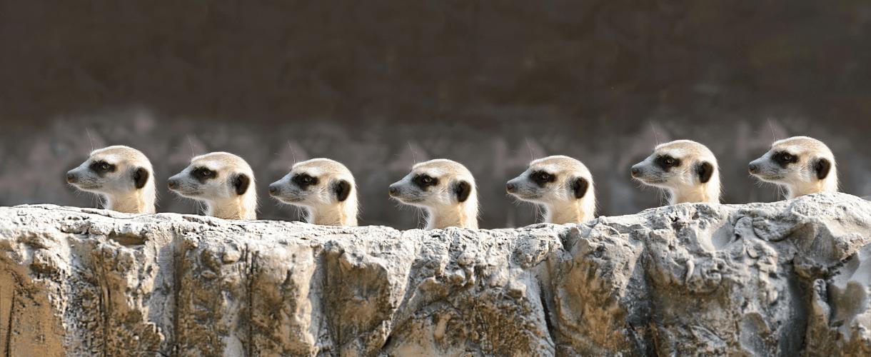 A group of seven meerkats