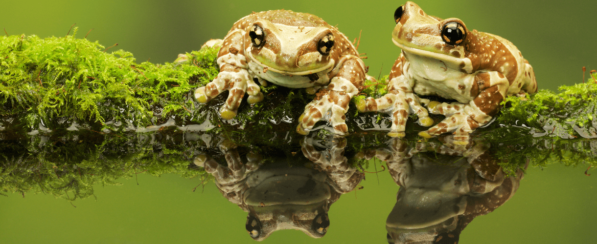 Two frogs laying on a tree branch in a pond