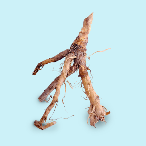 Chicory Root Hangover