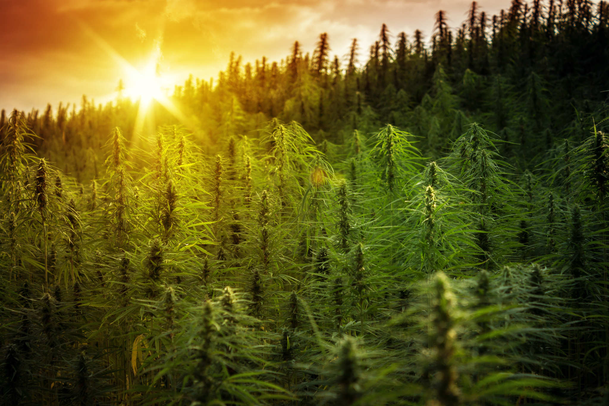 industrial-hemp and CBD field