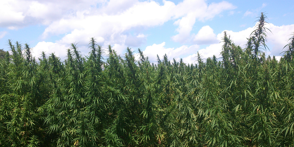 The next big thing has arrived. It's cannabis, but not the version you smoked this morning. It's called industrial-hemp, and if you aren't educated on it, or the stuff that's extracted from it, you're losing money.