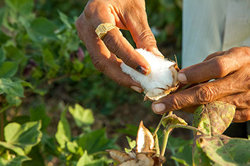 Man holding a cotton plant with cotton bloom