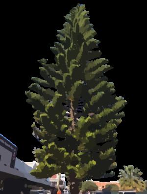 Norfolk pine on marine terrace