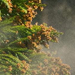 Cedar tree allergen