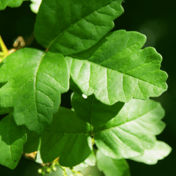 Oak tree allergen