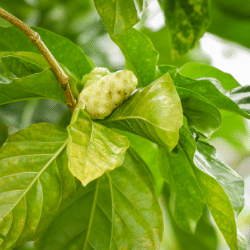 Mulberry tree allergen