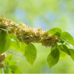 Elm tree allergen