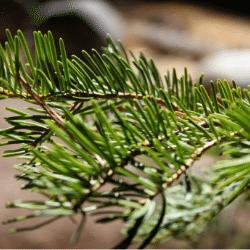 Pine tree allergen