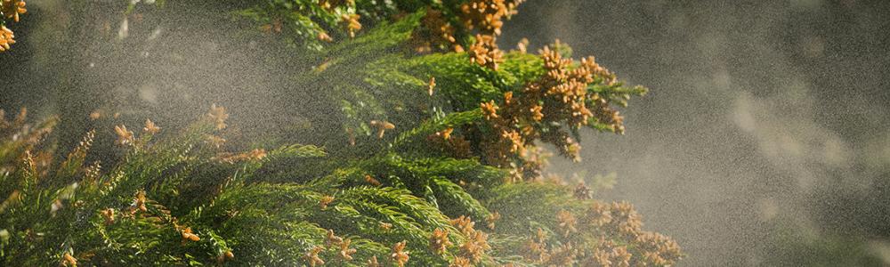 Cedar pollen explosion