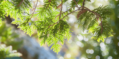 New treatment for cedar fever, other allergies: just three shots