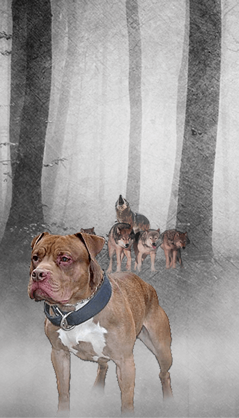 Discontinued Pits | Lonzo Bloodline Breeders