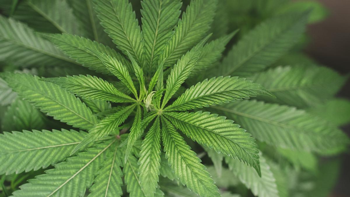 Gold Leaf Gardens cannabis plant