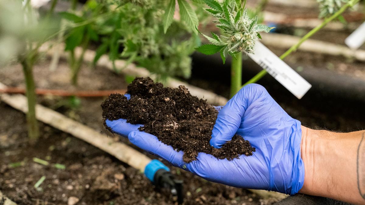 Gold Leaf Gardens living soil in cannabis grow