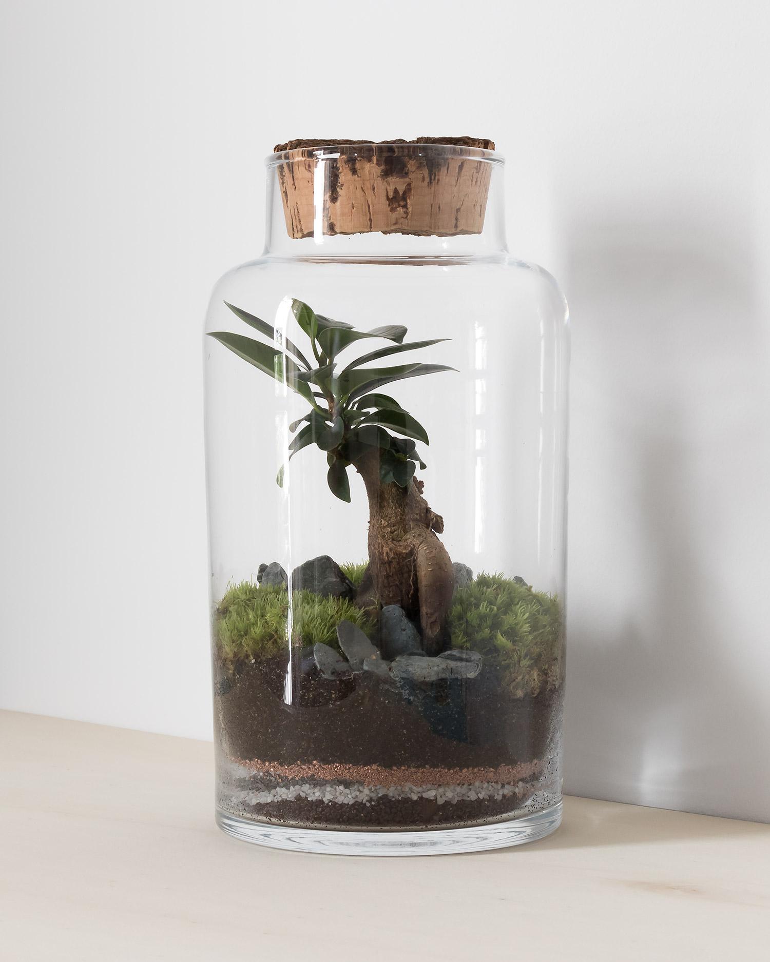 Glass terrarium jar with bonsai ficus tree, gravel and moss garden, cork stopper